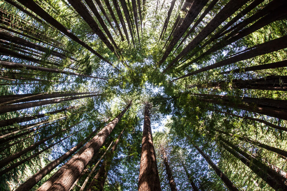 Giant redwood forests only exist in California where they thrive in the moist, humid, foggy coastal climate. California redwoods can grow over 350 ft tall and live to 2000 years old.